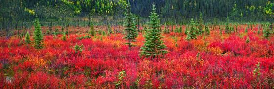 Dwarf birch and black spruce trees
