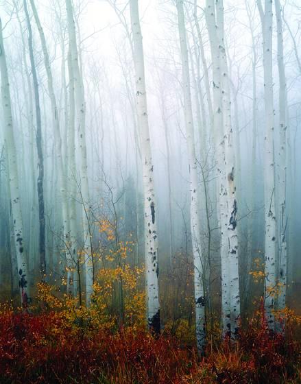Aspens   fog
