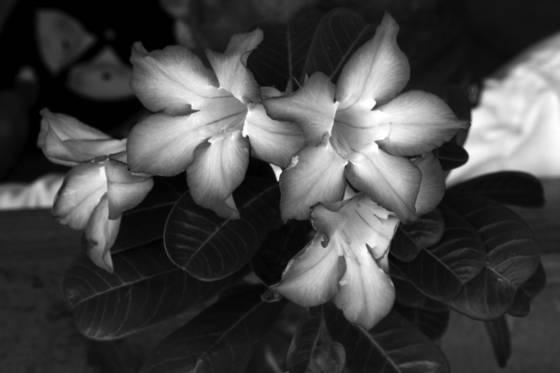 Carib blossoms