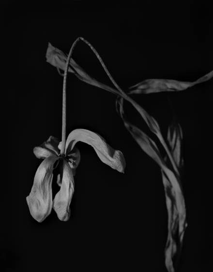 Dead tulip  1