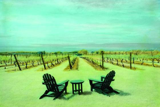 Vineyard in summer