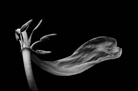 Dead tulip  2