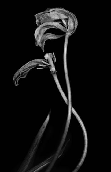 Dead tulip  3