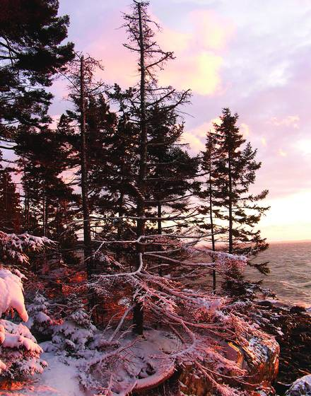 Old spruces by shore in snow