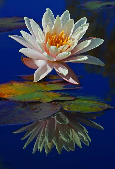 Peach water lily