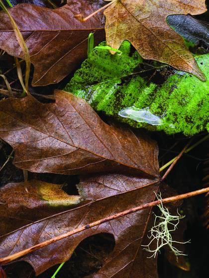 Suspended lichen