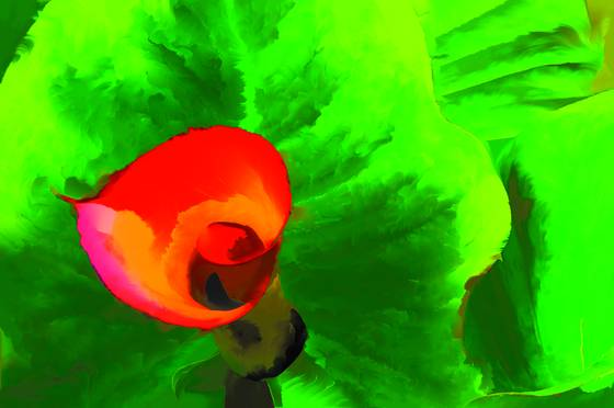 Garden calla lily