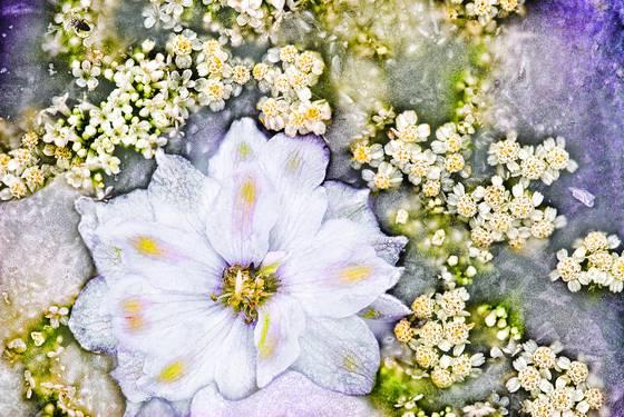 Summer frost delphinium