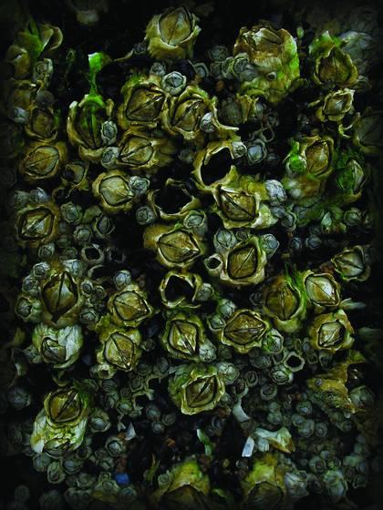 Rock barnacles