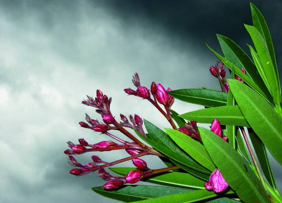 Oleander on a cloudy day