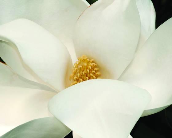 Magnolia 1715