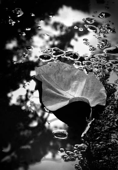 Cucumber tree magnolia leaf