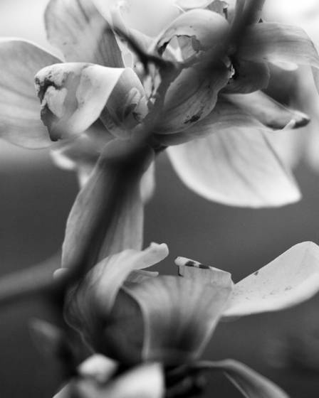 Magnolia acuminata 29