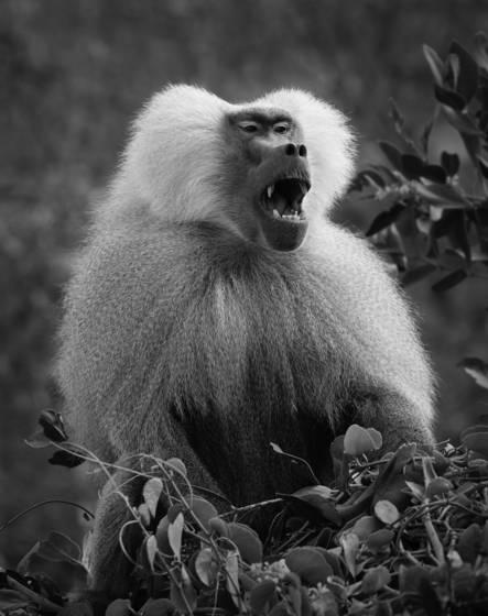 Alpha baboon