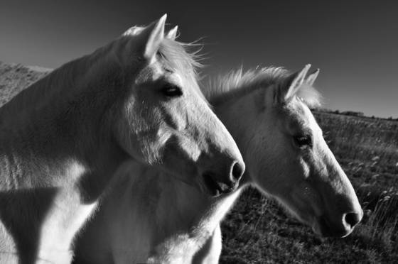 Wild horses of camague