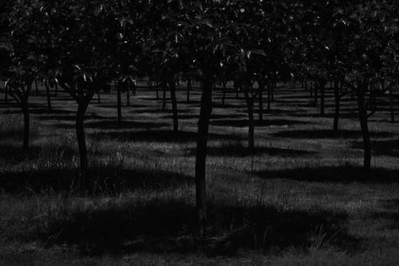 Persimmon orchard at night