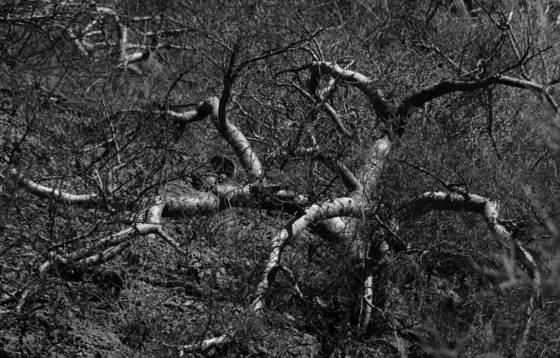 Tangled trees 3