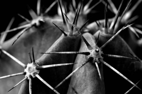 Stetsonia cactus