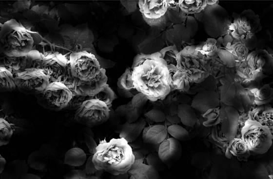 Dreamlight roses