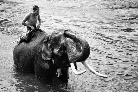 Elephate wade