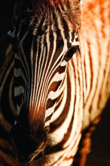 Petite zebra
