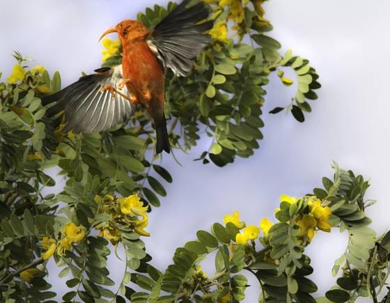 Iiwi taking flight