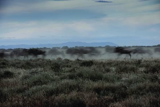 Wildebeest thunder