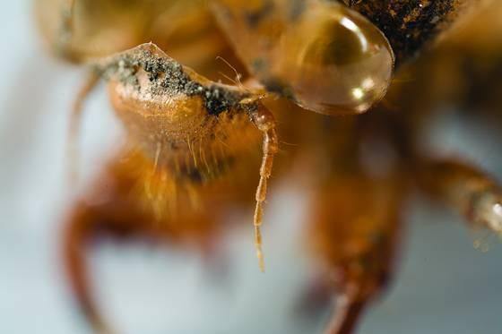 Cicada chrysalis