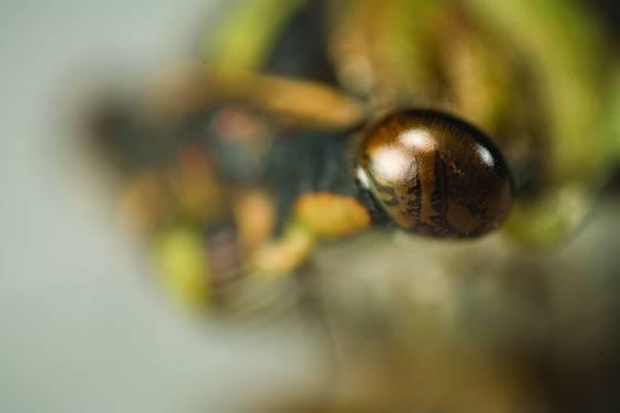 Cicada eye
