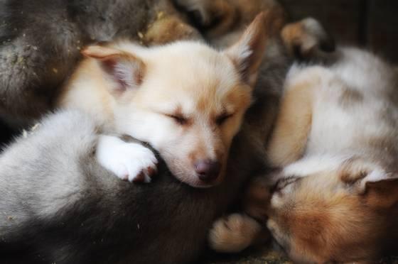 Iditarod pups