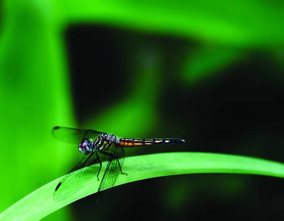 Dragonfly with ruby eyes