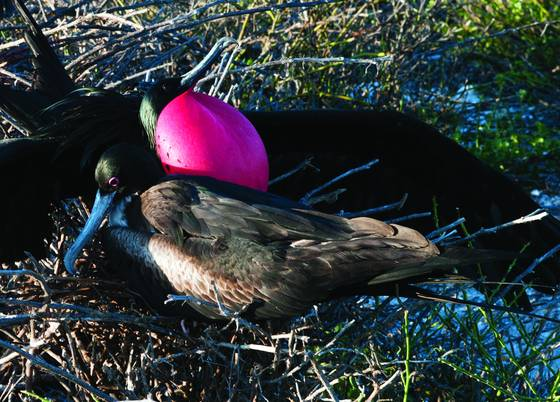 Frigatebird mates