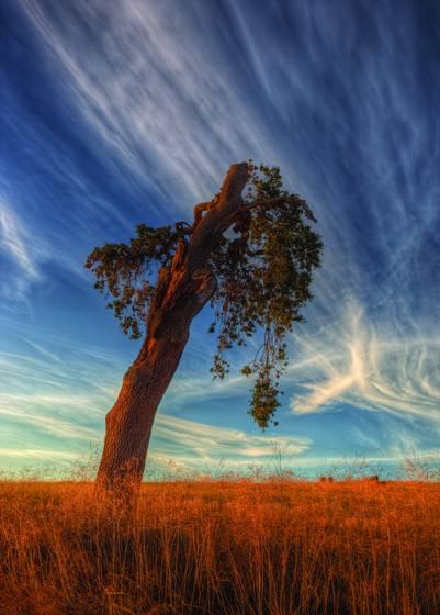 Enduring valley oak