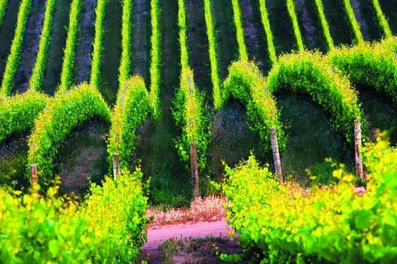 Vineyard wave