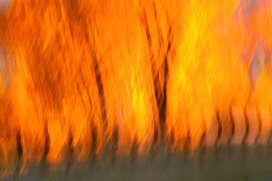 Firey aspens