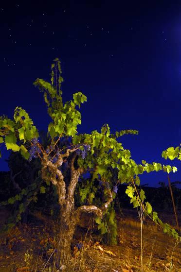 Old vine pm