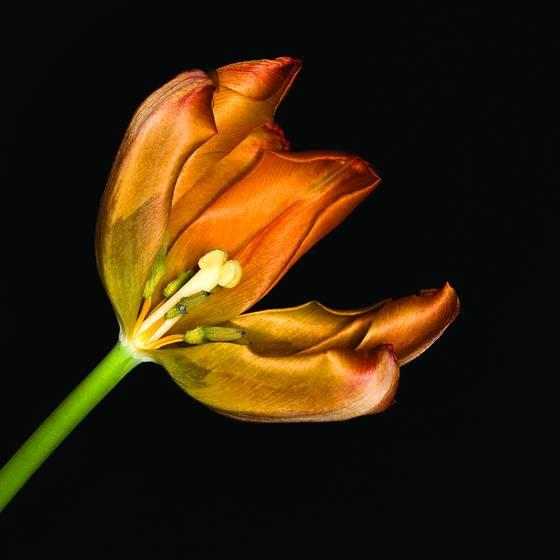 Tulip golden