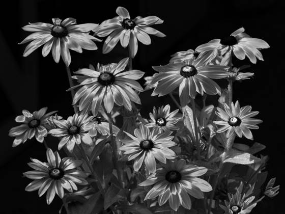 Black eyed susans  1