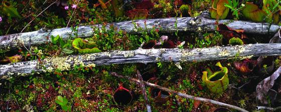 Tamarack twigs and pitcher plants