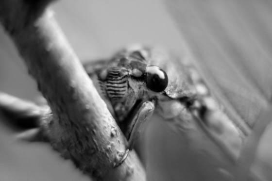 The cicada s eye