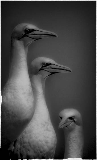 3 gannets