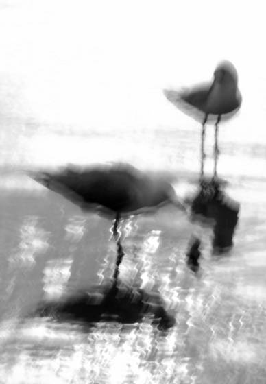 Sawtell gulls