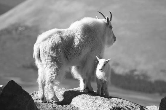 Mountain goat 10