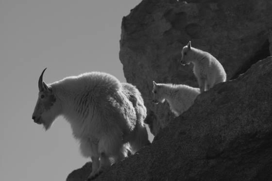 Mountain goat 11