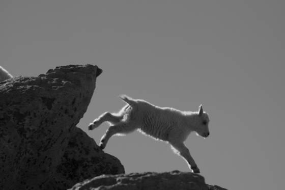 Mountain goat 7