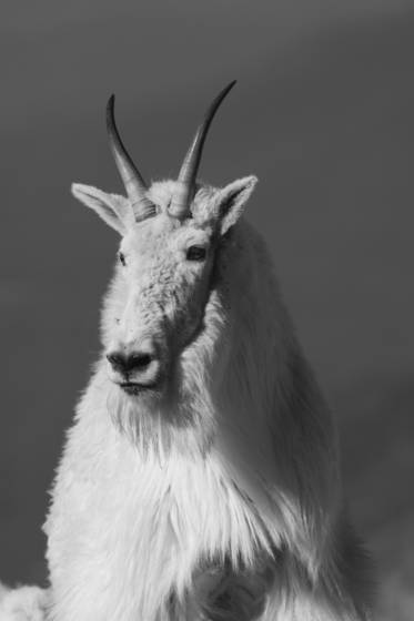 Mountain goat 9