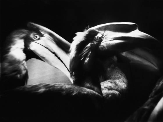 Three beaks