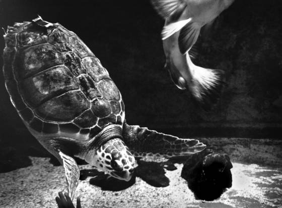 Turtle fish tail