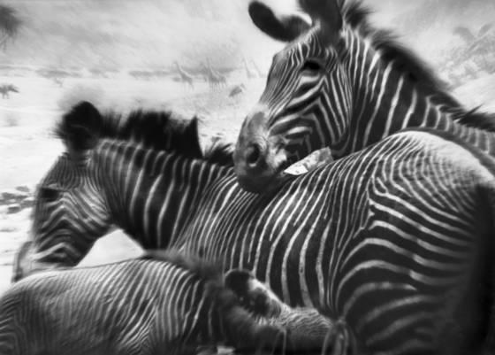 Zebras pretending 2