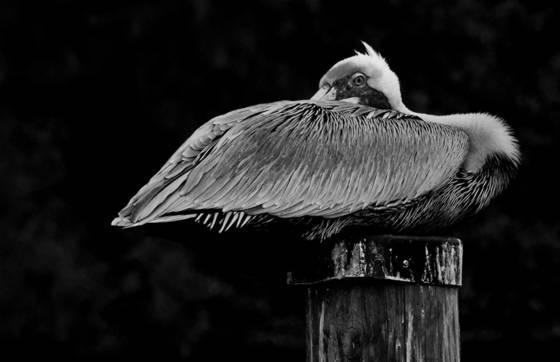 Aroused pelican